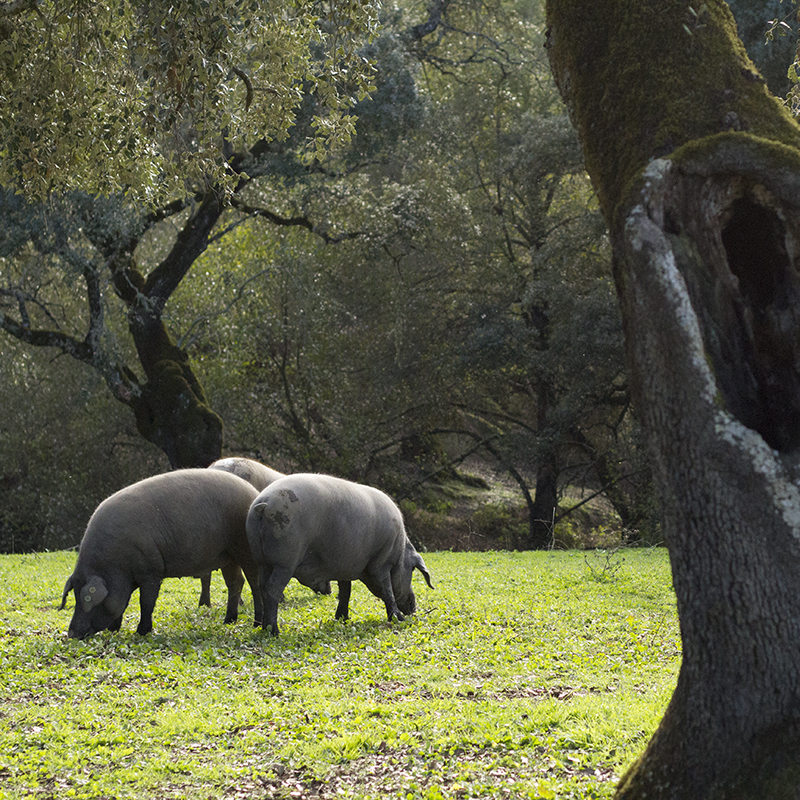 Open-air grazing for acorn-fed Iberian pigs