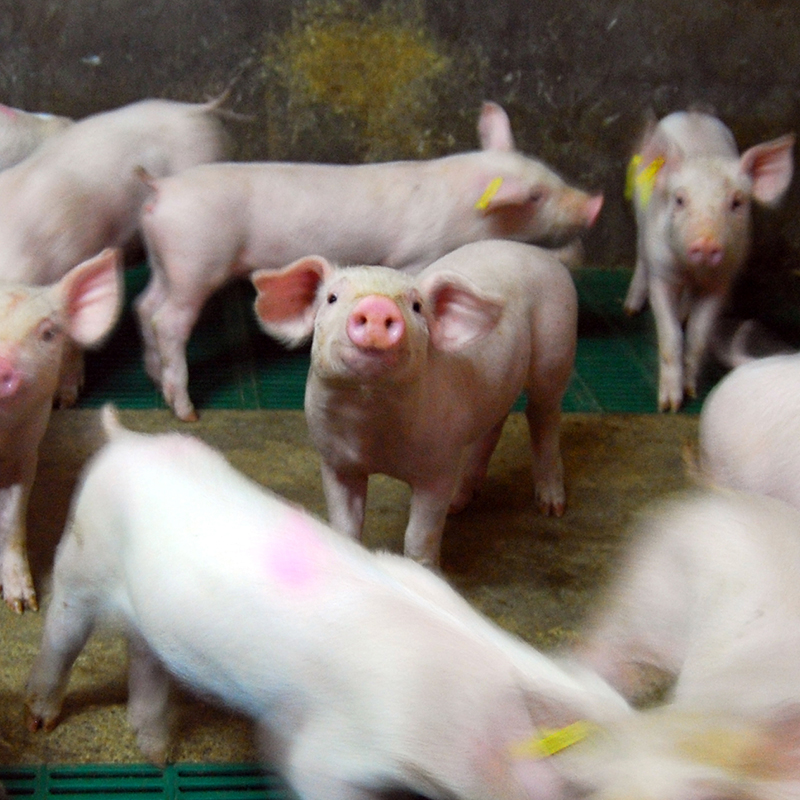 Farrowing and rearing group-operated farms
